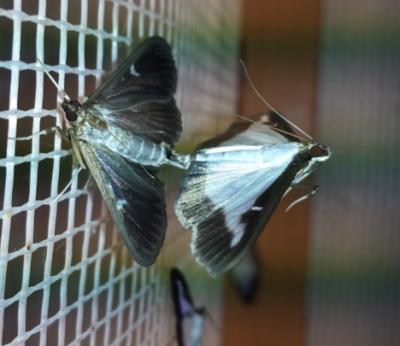 A szexferomon a kulcsinger a laboratóriumban vizsgált puszpángmolyok párosodásákor is