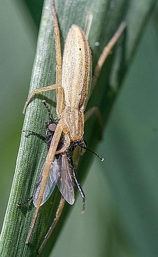 A sovány karolópók (Tibellus oblongus) a gabonakártevők gyakori természetes ellensége