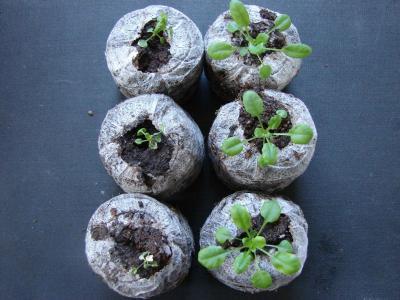 Talajban lévő gyomirtó szer (metolaklór) hatása különböző Arabidopsis thaliana genotípusokra