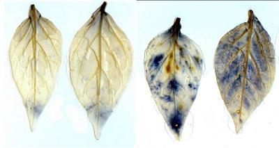 Szuperoxid kimutatása paprika levelekből nitro blue tetrazoliumos (NBT) szöveti festéssel