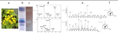 Tanacetum vulgare L. (gilisztaűző varádics) illólaj antibakteriális komponenseinek meghatározása