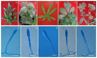 Különböző növényfajokat, köztük a paradicsomot fertőző, közeli rokon lisztharmatgombák