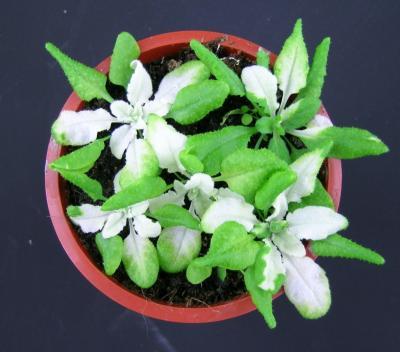 Fitoén-deszaturáz gén működésének gátlása Arabidopsis növényekben VIGS technológiával