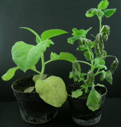 Cercospora nicotianae gomba fertőzésének tünetei Nicotiana tabacum és Nicotiana benthamiana növények