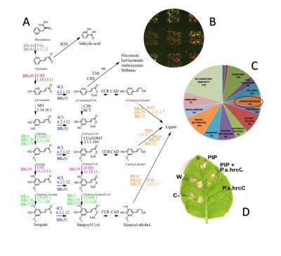 Fenilpropanoid gének szerepe a növények általános rezisztenciájában